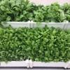 Vườn rau sạch trồng tại nhà có những ưu nhược điểm gì?