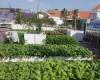 Theo bạn nên hay không nên trồng rau sạch trên mái