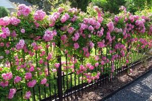 Một số loại cây leo tường được trồng nhiều trong thiết kế vườn trên tường