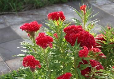 9 loại hoa trồng dịp tết nở hoa cực đẹp nên trồng trong sân vườn