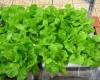 Mẹo hay để có vườn rau xanh tại nhà chung cư chật chội