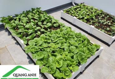 Trồng rau xanh tại nhà chống covid với chậu ghép thông minh Quang Anh Hà Nội