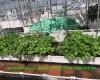 Tự chế thuốc trừ sâu từ tỏi, ớt cho vườn trên mái, vườn trên sân thượng