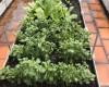 Quang Anh Hà Nội chia sẻ cách trồng rau ăn lá tại nhà