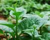 Các loại rau ăn lá thích hợp trồng với chậu ghép thông minh