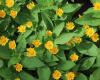 Các loại hoa thích hợp cho vườn trên tường
