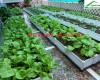 Kỹ thuật trồng rau cải xanh sạch với chậu ghép thông minh Quang Anh Hà Nội